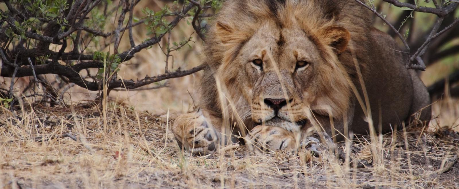 On a wildlife conservation project in Africa, volunteers in Botswana spot big cats resting during a monitoring session.